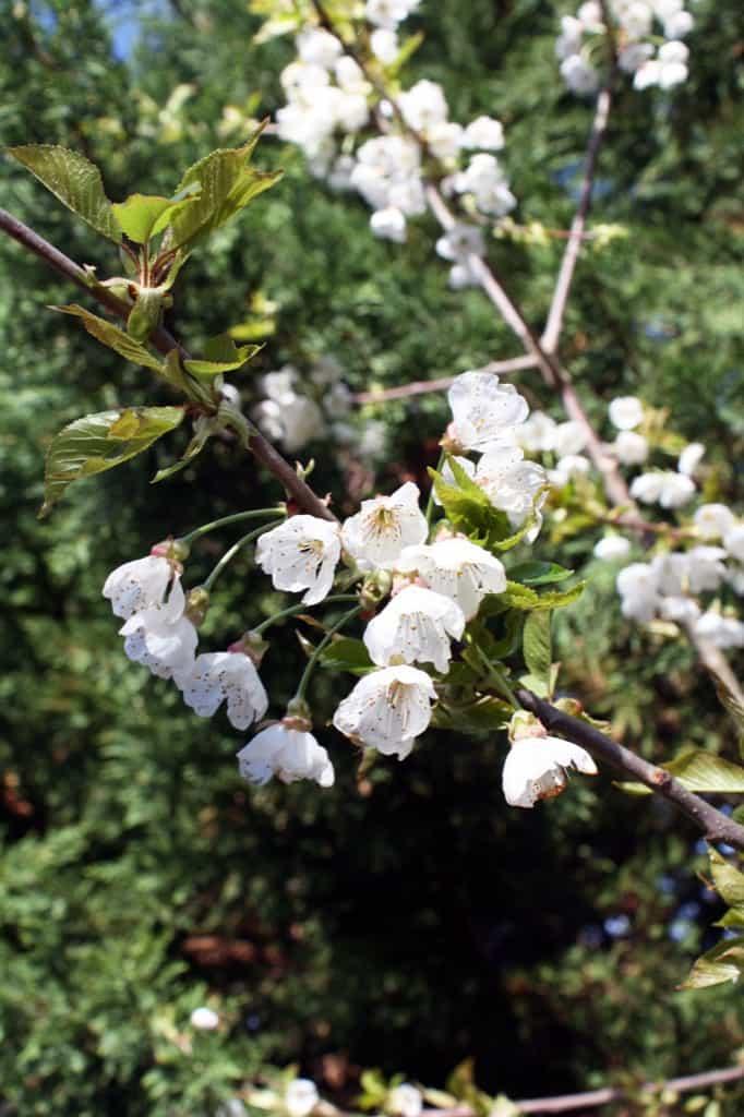 flowering-tree.jpg
